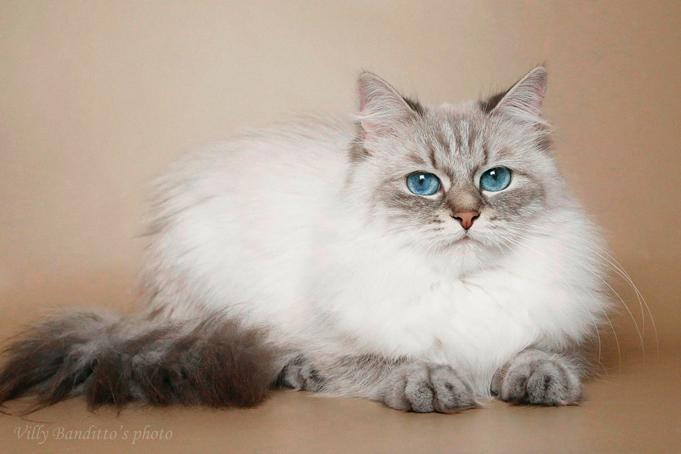 Gortenziya  Lunnaya Dymka neva masquerade cat