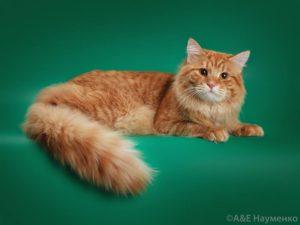 Siberian traditional cat