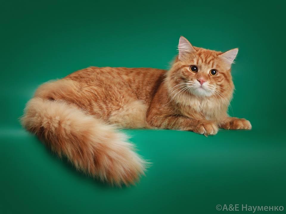 Сибирский кот питомника Лунная Дымка