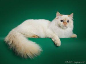 невская маскарадная кошка Пеночка Лунная Дымка