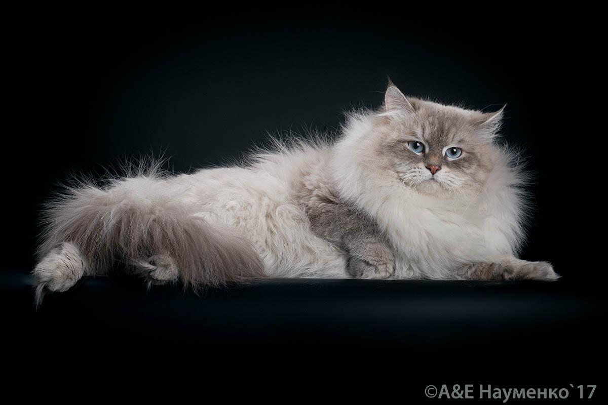 фото невский маскарадный кот Потап Лунная Дымка