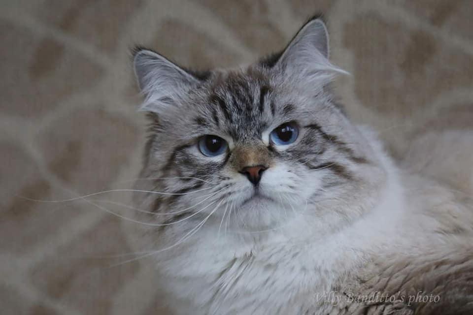Neva masquerade cat