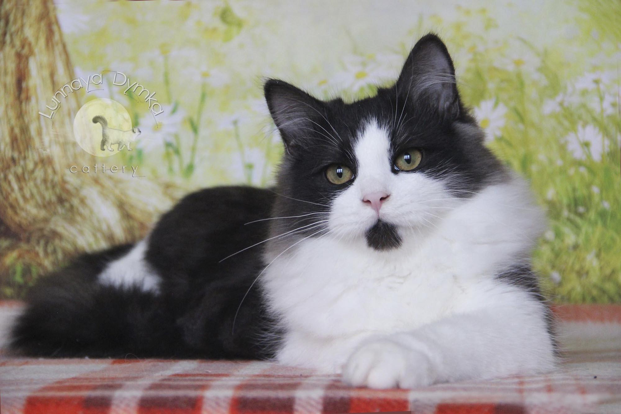 сибирский кот -  Граф Лунная Дымка